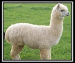Alpaca & Alpaca Blends